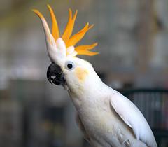 Week 16: Portrait- Domestic Bird (shannon_blueswf) Tags: cockatoo citrine bird domestic portait pet happy nature