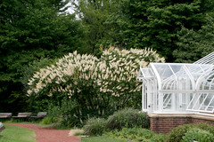 bottlebrush buckeye and greenhouse (wmpe2000) Tags: 2016 ct summer hartford elizabethpark gardens displaygarden greenhouse shrub bottlebrushbuckeye aesculusparviflora sapindaceae soapberryfamily ordersapindales white palmate leaves