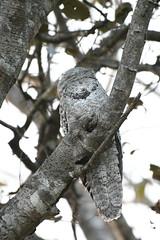 Great Potoo (Nyctibius grandis) (perdixphotos) Tags: great potoo nyctibius grandis