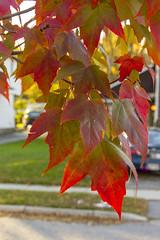 Autumn Curtain (rumimume) Tags: potd rumimume 2016 niagara ontario canada photo canon 550d t2i sigma autum leaf red yellowfall