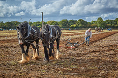 DSC05648 (Andy Oldster) Tags: eashing godalming farm plough ploughing heavyhorses shire sony alpha a65 slt