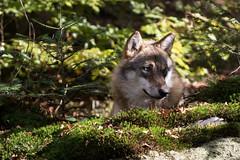 Wolf (Marlies Platvoet) Tags: wolf bayerischerwald bavarian forest wolves nature wildlife autumn
