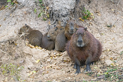 One more capybara family! (Tambako the Jaguar) Tags: capybara big rodent sand calm waiting beach many four family young babies wildanimal wild wildlife nature pantanal matogrosso brazil nikon d5