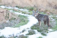 Winter Coyote (namra38) Tags: coyote snow ridgefieldnationalwildliferefuge