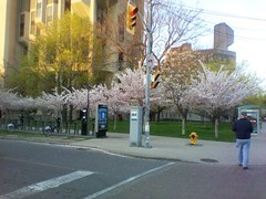 The cherry blossoms of Robarts Library (1) (randyfmcdonald) Tags: toronto spring universityoftoronto cherryblossoms robartslibrary