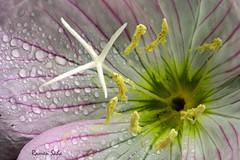 Primrose tears (Explored) (Ramen Saha) Tags: tears pinkeveningprimrose oenotheraspeciosa showyprimrose pinkbuttercups ramensaha