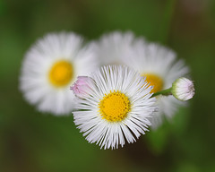 Spring fleabane (Vicki's Nature) Tags: flowers white macro green yellow yard canon bokeh ngc 100mm npc buds wildflower threecolors touchofpink fleabane bigmomma 5186 fourcolors touchofyellow impressedbeauty vickisnature readygame storybookwinner returnarray motherdof game2ndchooses storybookanything