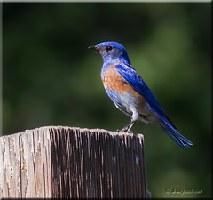 'Bluebird of Happiness' (d-lilly (in & out & away!)) Tags: ngc npc angelscamp westernbluebird newmeloneslake naturesharmony