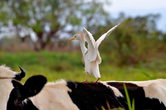 Cattle Egret (Bubulcus ibis) hitches a typical 'cattle back-ride', northern Tobago. (One more shot Rog) Tags: nature birds cow wings ride cattle transport feathers trinidad caribbean wink egret tobago widlife cattleegret beaks d7000