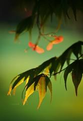 135: last light (Jen MacNeill) Tags: trees sunlight tree nature garden maple bokeh seed japanesemaple seedhead acer goldenhour samara palmatum jennifermacneilltraylor jmacneilltraylor jennifermacneill jennifermacneillphotography
