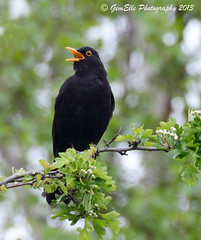 Blackbird singing in the light of day (GemElle Photography) Tags: black bird nikon singing blackbird gemelle sigma50500 d600 gemelle1