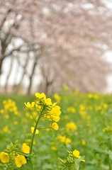 Yellow and pink (rosyamei) Tags: pink nature yellow spring nikon  cherryblossoms   cherrytrees      canolaflower  naturewatcher  d7000