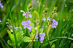 Florets in the grass (nehad1) Tags: flowers nature wiese veronica grasses grn blau blume grser ehrenpreis