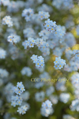 ~Oh Flickr..Forget-Me-Nots~ (cheryl c.) Tags: blue forgetmenots longhillgardens crazyflickr amazinggardens sodelicateandpretty learningagainhopingthisworks photoforfridaysfind