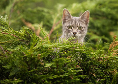 Cat On My Hedge (Phil Benton Photography.) Tags: green animal cat ears hedge
