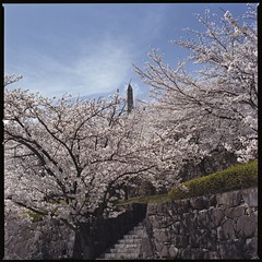 Castle of the cherry blossom  (HASSELBLAD 500C/M) (potopoto53age) Tags: flowers plant flower tree castle 6x6 film apple japan zeiss photoshop mediumformat square cherry aperture blossom tube hasselblad adobe squareformat carl  cherryblossom  sakura epson fujifilm extension f28 reala yamanashi planar kofu extensiontube 80mm 500cm hassel   hasselblad500cm appleaperture nont  cs6 fujifilmreala100 kofucastle  epsongtx970 gtx970  potopoto53age betterscanning mygearandme adobephotoshopcs5 dualmffilmholder betterscanningdualmffilmholder carlzeissplanar80mmf28nont castleofthecherryblossom