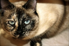 Gorgeous (sabinaVictoria) Tags: blue cat feline pretty siamesecat blueeyes siamese best whiskers lovely