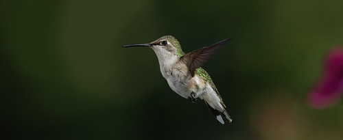 Hummingbird In Flight_RGB3804