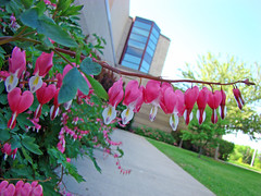 Bleeding Hearts (uwgb admissions) Tags: flowers bleedinghearts weidnercenter