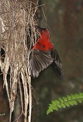 Crimson Sunbird (kampang) Tags: nest chicks hatchling nestling crimsonsunbird aethopygasiparaja