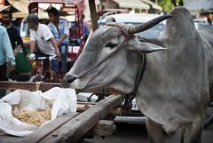 Cow Snacking on Barley (William J H Leonard) Tags: street city urban india streets asian cow asia market delhi indian citylife streetshots streetphotography holy bazaar citycentre stalls newdelhi southasia southasian paharganj