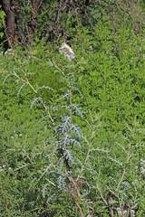 CAD0003011a (jerryoldenettel) Tags: 2016 argemone argemonepleiacantha eudicots guadalupecanyon hidalgoco n papaveraceae pricklypoppy ranunculales southwesternpricklypoppy wildflower flower poppy