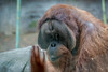3O4A2108 (zcmcclary) Tags: louisvillezoo orangutan captivity ancestry animal wild