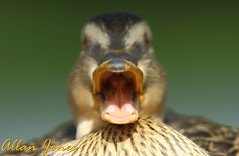 JAWS (Allan Jones Photographer) Tags: duck quacking jaws duckcloseup allanjonesphotographer funnyduck funny hilarious bokeh thisphotorocks bokehlicious canon5d3 canonef70200mmf28lisusm soe yabbadabbadoo depthoffield narrowdepthoffield flickrelite