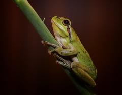 Green frog (JACRIS08) Tags: lapalma