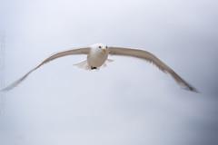Spiekeroog - Mwe_IMG_6518 (milanpaul) Tags: canonef70200f4lisusm canoneos6d deutschland germany meer mwe natur niedersachsen nordsee ostfriesischeinsel ostfriesland spiekeroog strand vogel wattenmeer wind