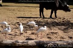 Afrikaanse lepelaar - Platalea alba - African spoonbill (MrTDiddy) Tags: afrikaanse lepelaar platalea alba african spoonbill spoon bill vogel bird zooantwerpen zoo antwerpen antwerp