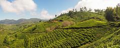 Tea Plantations (Zmeul Calator) Tags: munnar india tea hills plantations green