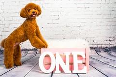 MATCHA LOW-5 (Michiez Chua Petography) Tags: poodle toypoodle singaporedog singapore redpoodle cute dog dogs canon 35mm studio studioshoot dogshoot