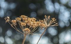 Seeds Of Change (Explored)...briefly again! ;-) (Fourteenfoottiger) Tags: explored explore bubblebokeh bokeh helios44m vintagelens seeds light sunlight golden nature hogweed plants texture