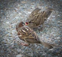 A mother's love is never ending... (knoxnc) Tags: summer sidewalk outside d7200 nature fledgling birds sparrow sunlight parknikon depthoffield washingtondc constitutionavenue