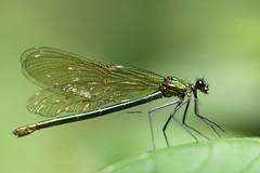 female Calopteryx (Phil Arachno) Tags: germany badenwürttemberg daxlanden insecta hexapoda arthropoda odonata fritschlach karlsruhe deu