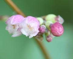 Common Snowberry Flowers (corey.raimond) Tags: symphoricarposalbus shrub washington washingtonstate westernwashington flower whiteflower pinkflower plant caprifoliaceae