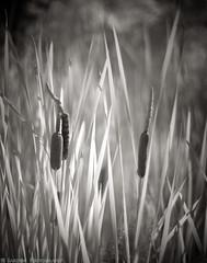 Cattails (mjardeen) Tags: konica57mm14hexanon konica 57mm 14 hexanon sony a7ii a7m2 grass wright park tacoma wa washington bw black white blackandwhite ir infrared 720nm converted lifepixel lifelixel catttail plant outdoor nature pattern texture dof depthoffield