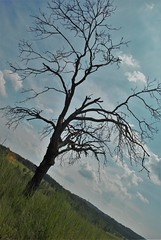 1 TREE (thucydides5) Tags: tree nature green