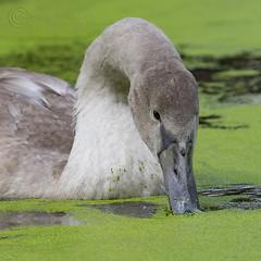 8235 Mute Swan Cygnet (Pete.L .Hawkins Photography) Tags: mute swan cygnet