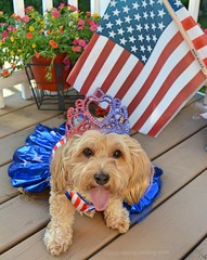 Crown of Victory  Modern (yourdesignerdog) Tags: ifttt wordpress all posts wordless wednesday blog cute designer dogs dog dress olympics patriotic red white blue stars stripes tiara tongue out usa victory