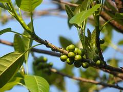 Figs (jgimbitzki) Tags: nature natureza photo foto tree rvore figs figos figueira