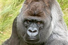 Bokito (Cliff van Dijk) Tags: bokito zoo gorilla rotterdamzoo blijdorp