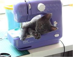 IMG_2551 (murkla_la) Tags: cat russianblue moussie gray graycat