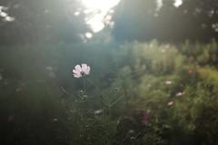 (Minami45) Tags: x100t fujifilm cosmos pink japan tokyo light