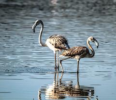 Flamingos - Flamencos (ibzsierra) Tags: ibiza eivissa baleares canon 7d 2100400 is usm ave bird oiseau flamenco flamingo salinas parque natural