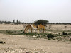 Camels in Qatar (lukedrich_photography) Tags: canon powershot a60 qatar قطر 卡塔尔 katar カタール 카타르 कतर катар الدوحة camel animal outdoor