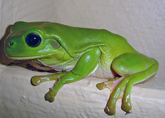 Green Tree Frog . Visitors in the bath room of a Caravan Park! (Uhlenhorst . Sorry, I need a long break!) Tags: 2005 australia australien animals tiere travel reisen