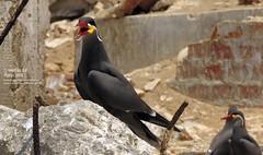 Patillo en El Fronton _1296 (Marcos GP) Tags: marcosgp callao peru lima isla el fronton natura mar sea marina