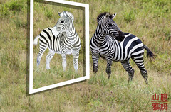 Mirror image.... (DragonSpeed) Tags: africa africanwildcatsexpeditions burchellszebra commonzebra equusquagga plainszebra safari serengetinationalpark seroneraregion tzday03 tanzania zebra mammal shinyanga tz photoshop